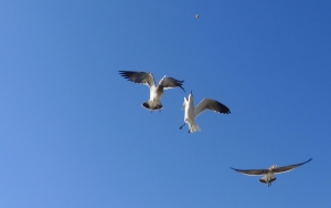 3 gulls and a piece of bread