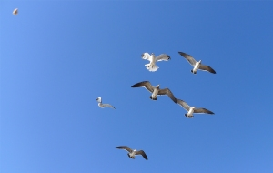 6 gulls and a piece of bread