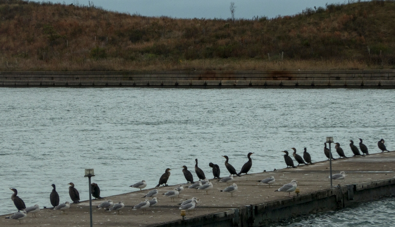 the cormorant society