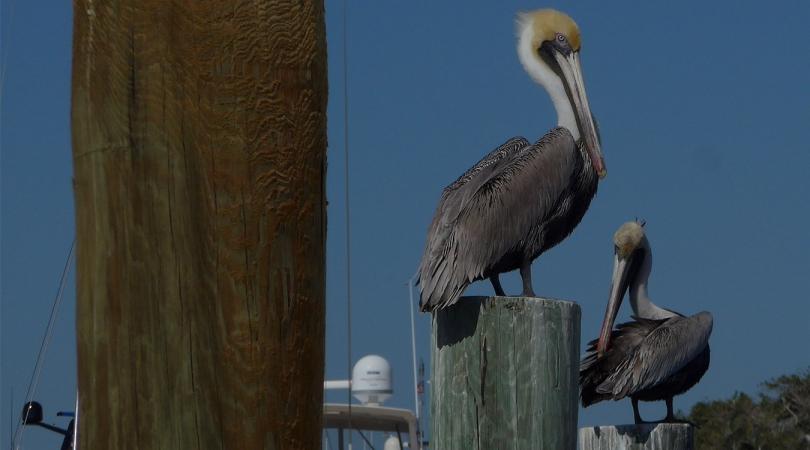 FB pelicans 2