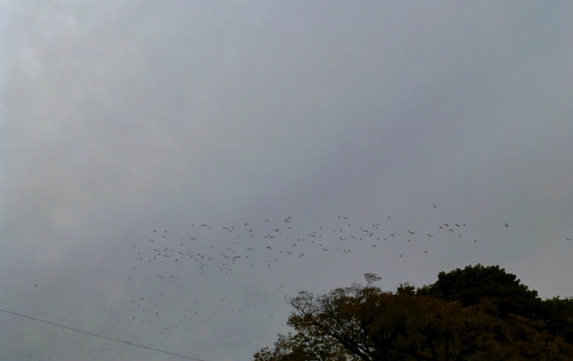 starlings and tree tops