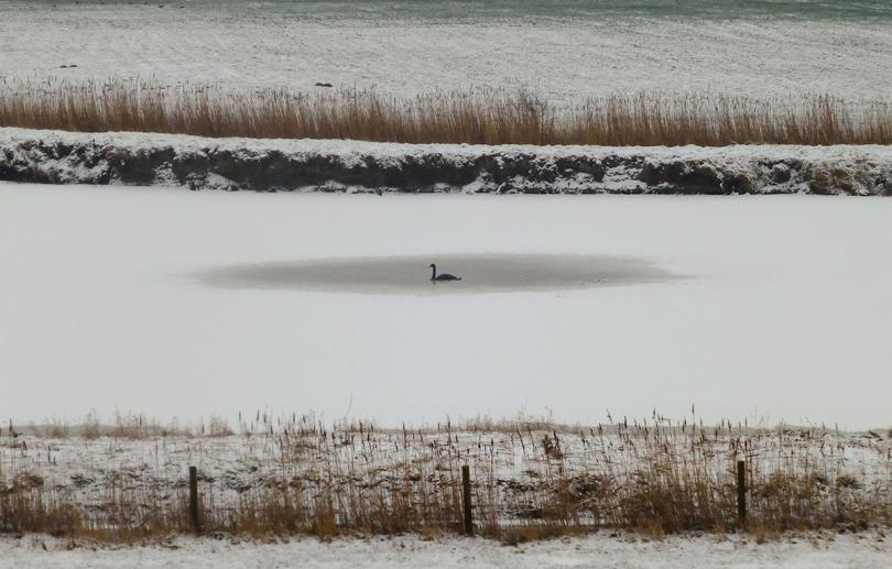 WP black swan habitat